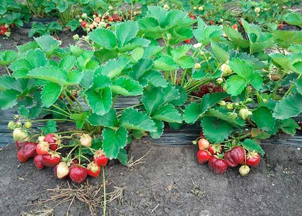 Клубника выращивание и уход в открытом грунте крупной и здоровой ягоды