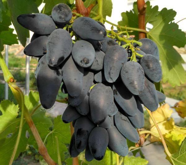 Сорт винограда «викинг»