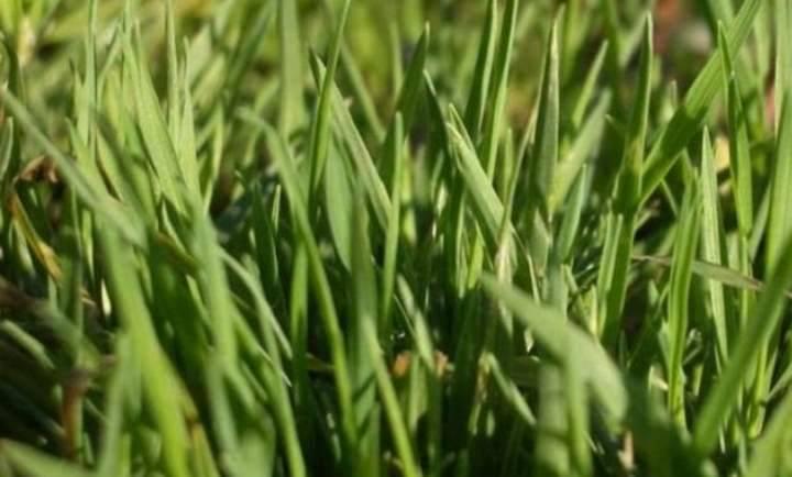 Полевица побегоносная: как посеять и вырастить газон