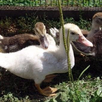 Почему гусята выщипывают перья друг у друга?  - ответ по образование