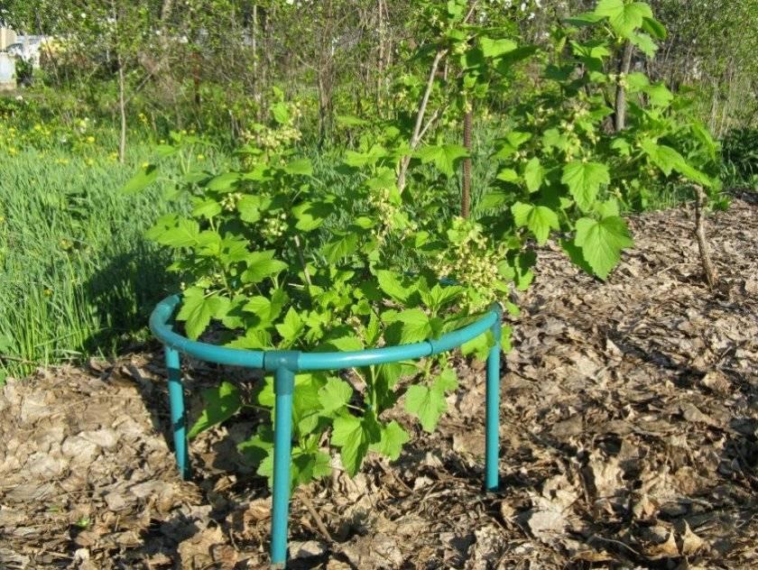 5 секретов небывалого урожая смородины