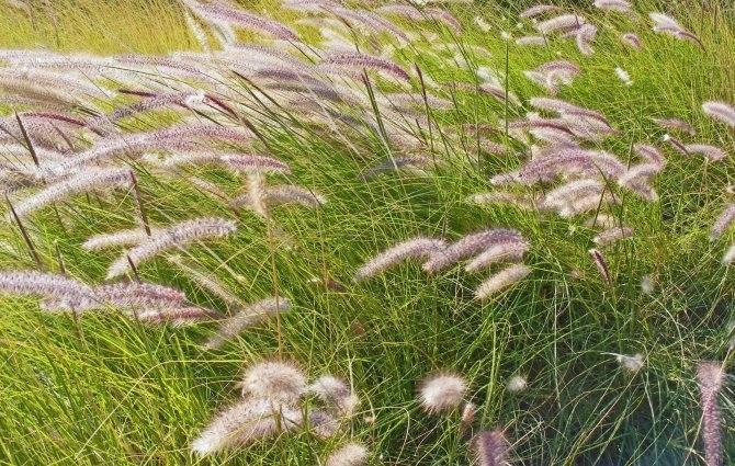 Кортадерия (пампасная трава): посадка, размножение и уход