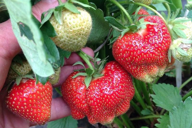 Клубника дарселект - технология посадки, культивирование и выращивание сорта (100 фото)