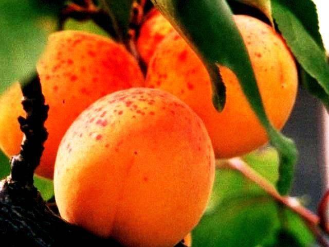 Абрикос царский: южная сладость в средней полосе россии
