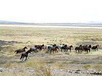 Дикие лошади мустанги. кони в природе и сельском хозяйстве