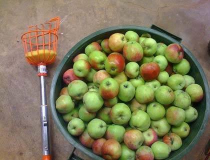 Приспособление для сбора яблок своими руками