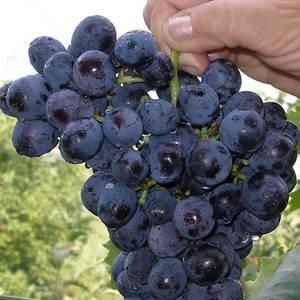 Виноград илья муромец описание сорта фото отзывы
