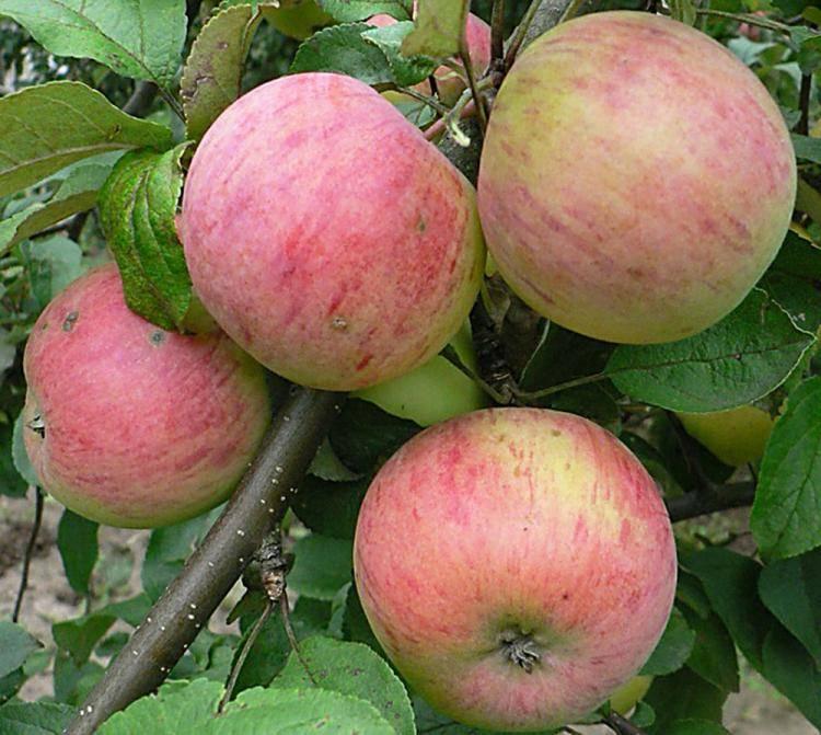 О яблоне Шафран: описание и характеристики сорта, уход и выращивание