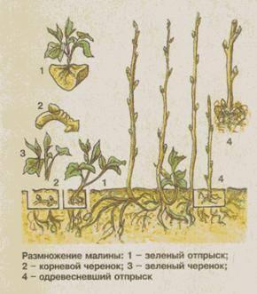 Ремонтантная малина: выращивание и уход - подробная инструкция