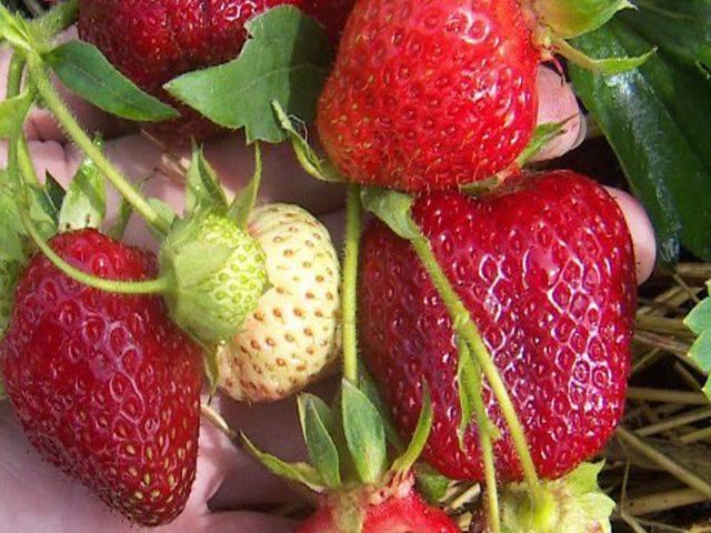О сорте клубники Даренка: описание, агротехника выращивания, как ухаживать