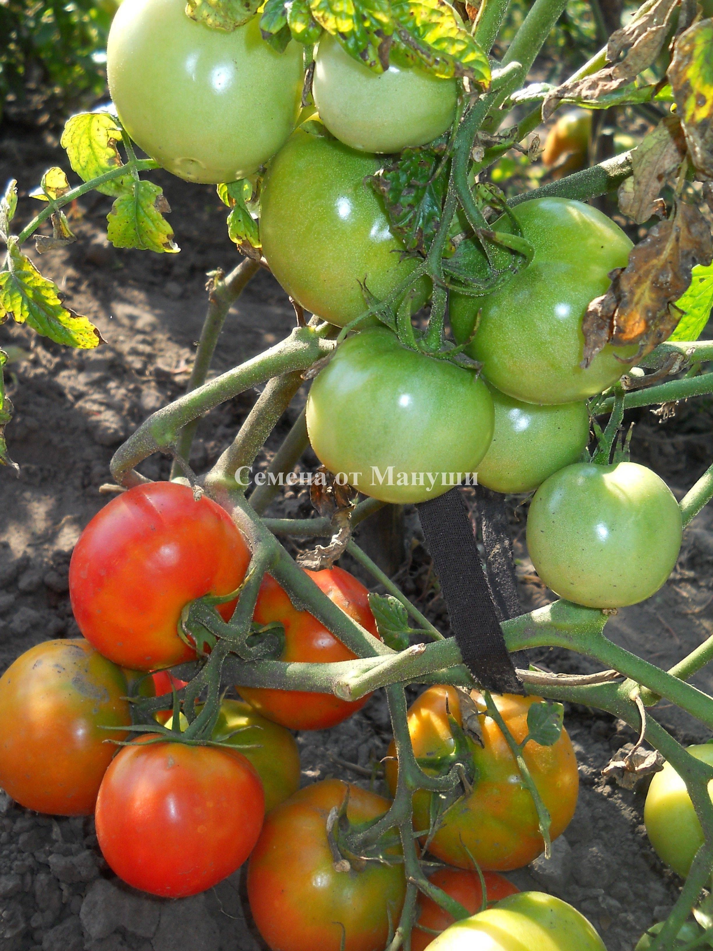 раскраски томат клубничное дерево отзывы фото урожайность наше время