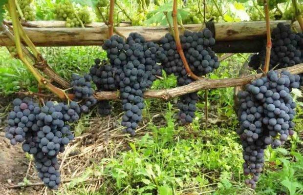 Описание и характеристики сорта винограда атос, правила выращивания и особенности ухода