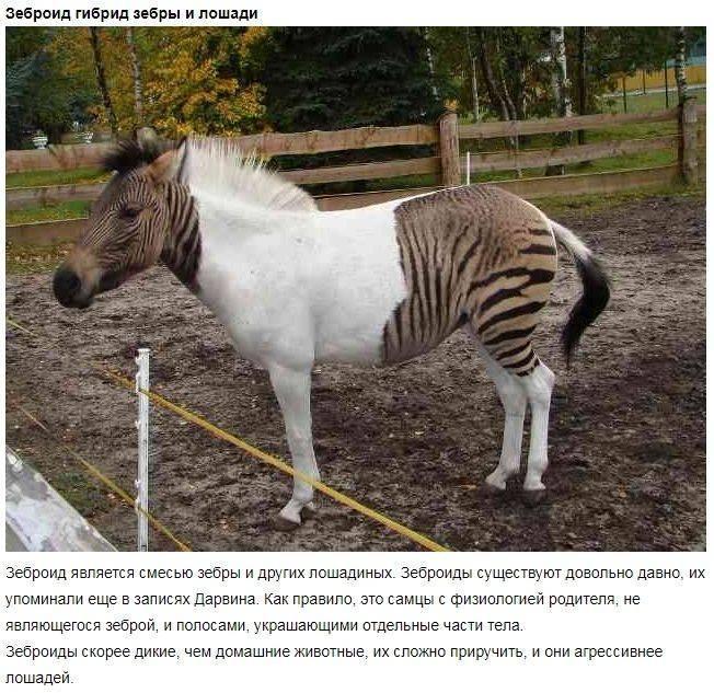 Животный мир: лошак и мул разница