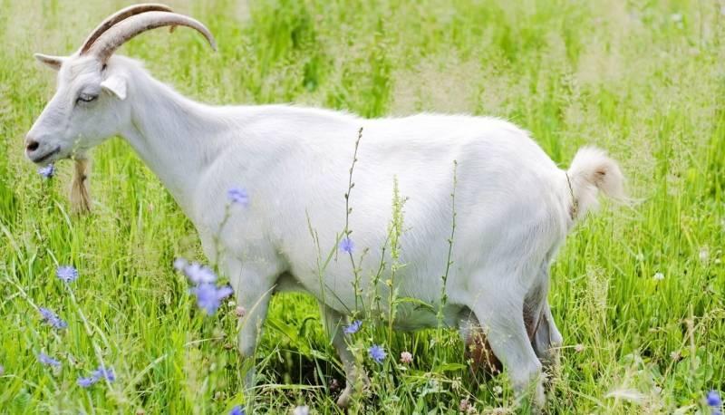 Вымя козы: строение, уход, различные травмы и заболевания