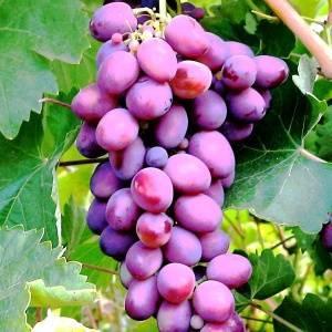 Виноград русский фиолетовый — описание сорта