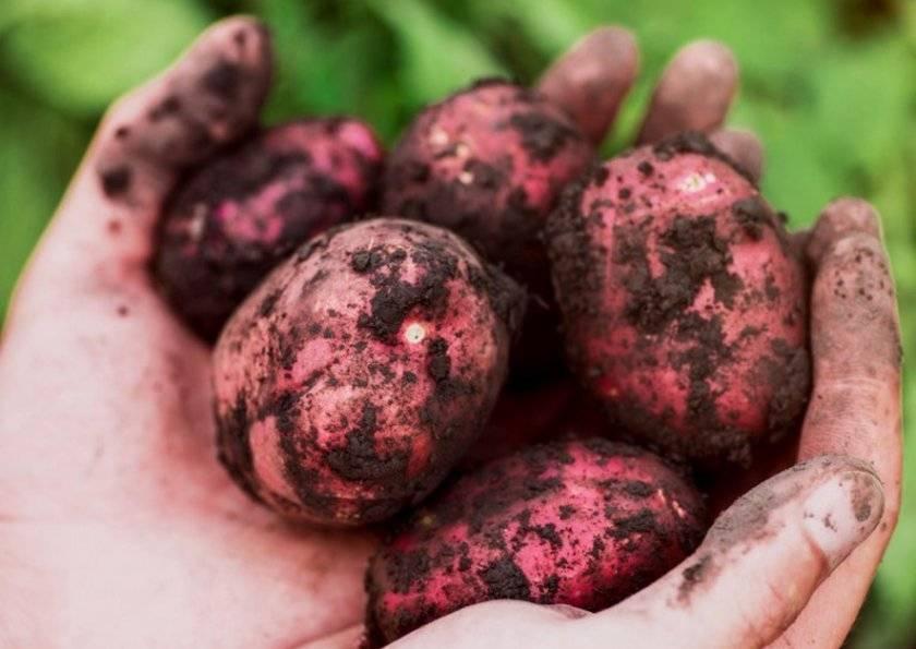 Сорт картофеля фелокс: ботаническое описание, агротехника выращивания и уход
