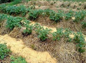 Методы посадки (выращивания) картофеля – топ 9 способов