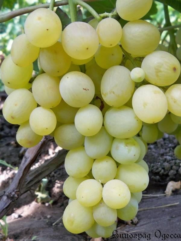 Описание сорта винограда «кеша»