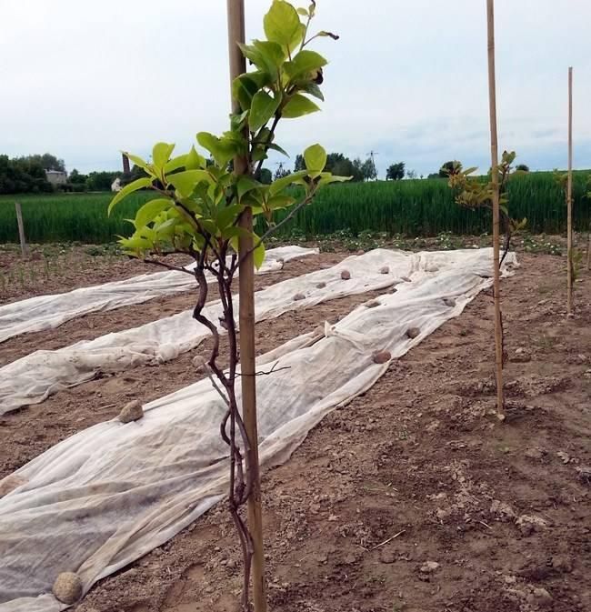 Уход за плодоносящими лианами актинидий
