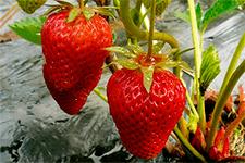 Клубника ламбада описание сорта фото отзывы садоводов