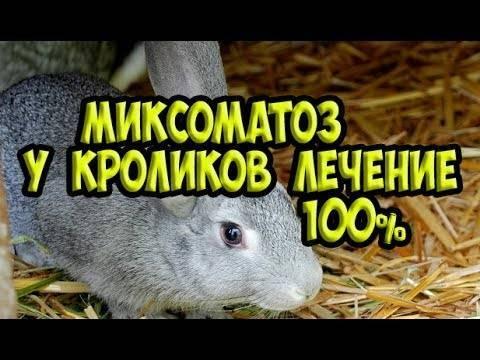 Лечение миксоматоза у кроликов в домашних условиях