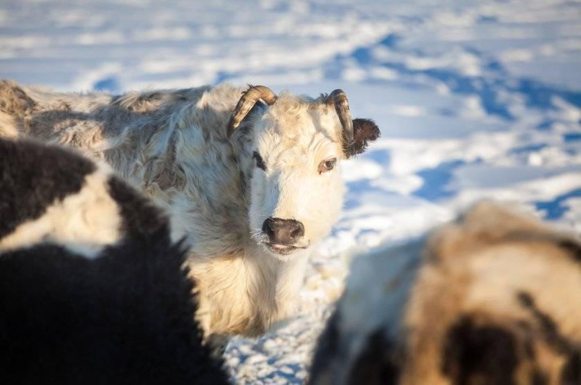 Обзор 4 удивительных карликовых пород коров