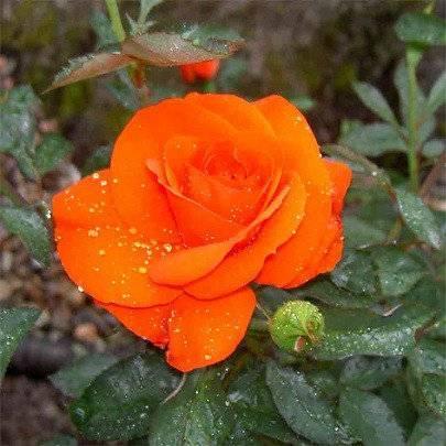 Ароматные розы кордеса: описания и фото сортов кисс ми кэйт, графиня диана, кармен вюрт, герцогиня кристиана   о розе