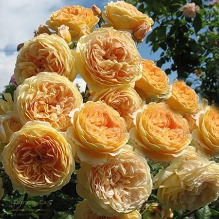 Английская роза кроун принцесса маргарет: фото, описание и отзывы о сорте дэвида остина