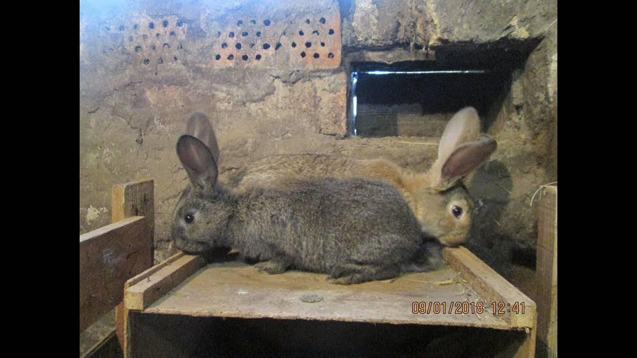 Глисты и паразиты у кроликов: признаки, и чем лечить   все о паразитах