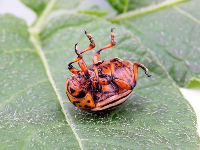 Как защитить баклажаны от колорадского жука: обработать народными средствами или химией