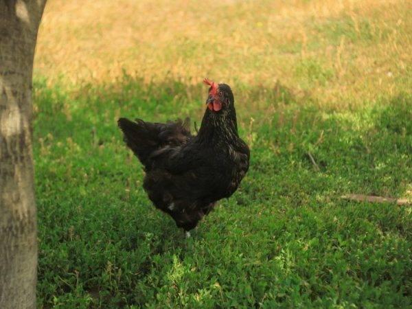 Яичные породы кур: список лучших