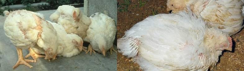 Болезни кур и цыплят: симптомы и лечение