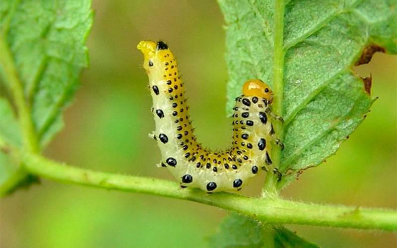 Как избавиться от зеленых гусениц на цветах. народные средства от гусениц на плодовых деревьях