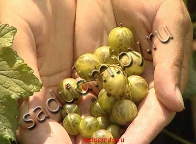 Сорт черной смородины изумрудное ожерелье: особенности агротехники