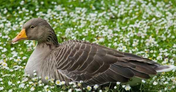 Разведение гусей в домашних условиях: выбор породы, выращивание, уход, обустройство птичника
