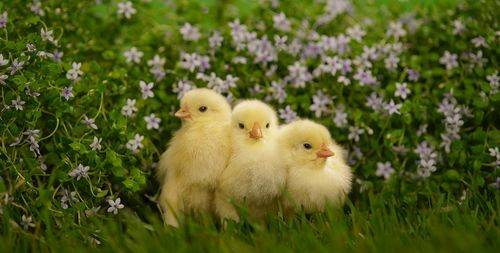 Какую траву можно давать цыплятам? список и нормы кормления по возрасту