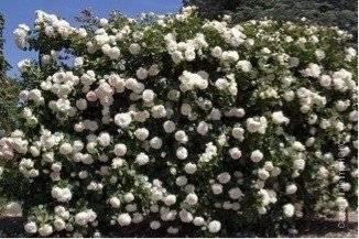 Чайно-гибридная роза версилия - описание сорта, фото и особенности агротехники   о розе