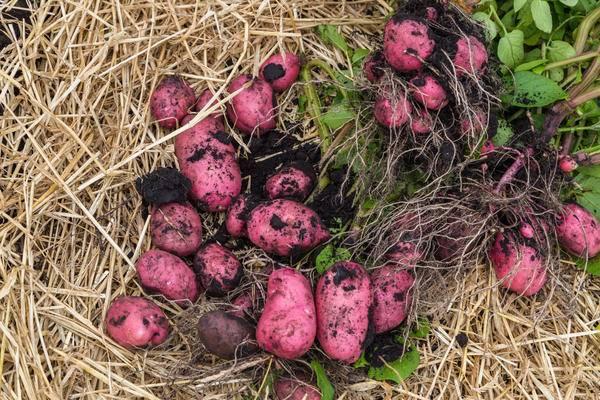 Картофель в сибири: лучшие сорта и советы по выращиванию