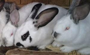 Каковы симптомы кокцидиоза у кроликов, какие методы лечения болезни существуют