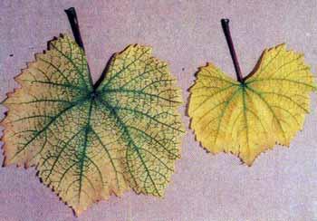 Хлороз винограда: фото, причины и лечение