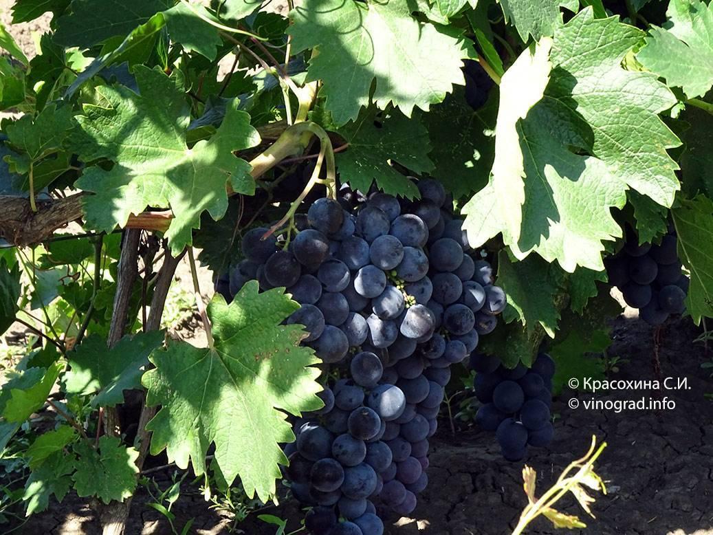 Виноград страшенский: описание сорта, фото и особенности выращивания, болезни и вредители