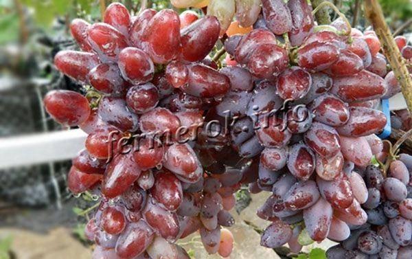 Виноград байконур: характеристика и описание сорта, посадка и уход