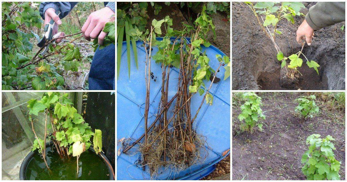 Черная смородина: посадка осенью. удобрения и подготовка почвы