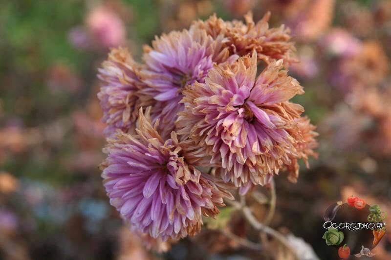 Комнатная хризантема - полезные советы по уходу