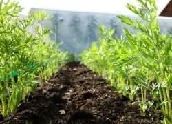 Выращивание моркови в открытом грунте, уход и подкормка