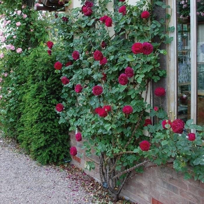 Роза фальстаф: описание и фото вида, история возникновения, уход и размножение, сочетание falstaff с другими цветами