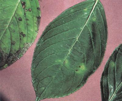 Болезни гортензии и их лечение: 8 недугов и 4 самых опасных вредителя культуры