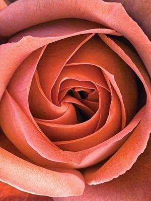 О розе vendela: описание и характеристики сорта, агротехника выращивания