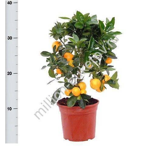 Комнатный мандарин: уход и выращивание в домашних условиях