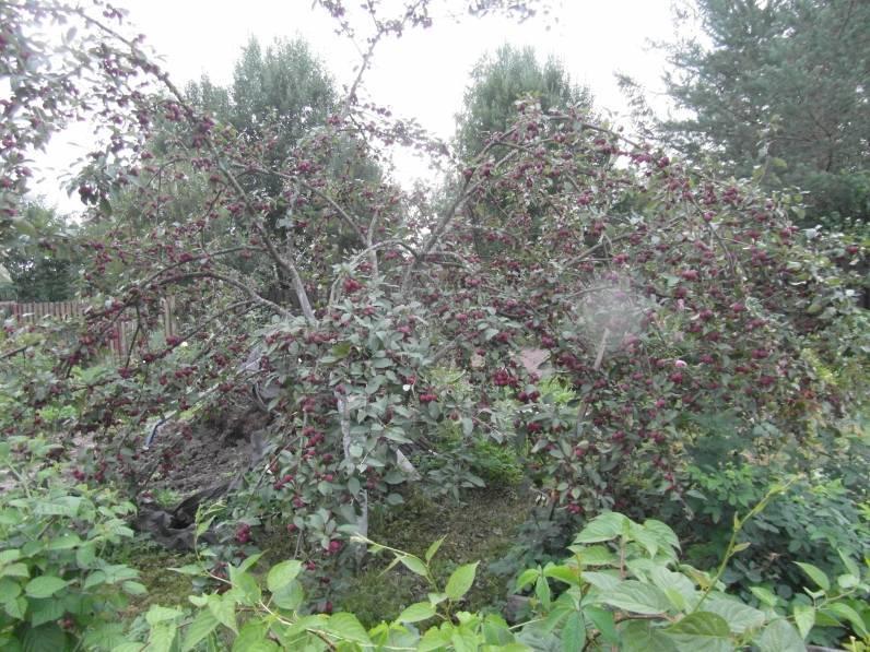 Яблоня недзвецкого – описание, сорта, особенности посадки и ухода за культурой